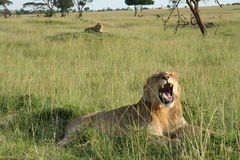 Roaring lion. In Kenya savannah Stock Photos