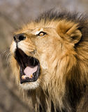 Roaring Lion Royalty Free Stock Images