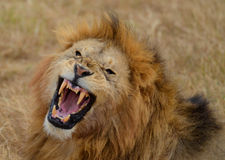 Roaring Lion 3. Roaring Lion in the Ngorongoro National Park, Tanzania Royalty Free Stock Photos