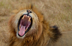 Roaring Lion. In the Ngorongoro National Park, Tanzania Stock Photography