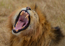 Roaring Lion 2. Roaring Lion in the Ngorongoro National Park, Tanzania Royalty Free Stock Photo