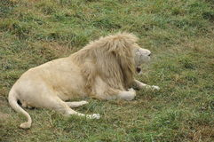 A roaring lion in the park Stock Image