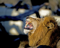 Roaring Lion. A photo of a roaring lion in Botswana Royalty Free Stock Photo