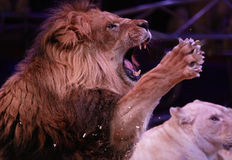 Roaring lion Stock Photography