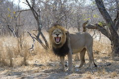Roaring lion. A powerful roaring lion Stock Photos