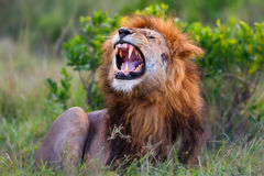 Roaring Lion Ron in Masai Mara. Ron is a son of legendary Lion Notch. He is roaring in Masai Mara, Kenya Royalty Free Stock Photo