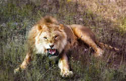 Roaring lion in savannah. Yellow roaring lion lying in savannah Stock Photography