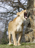 Roaring Lioness Royalty Free Stock Images