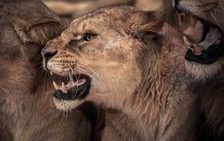 Roaring lioness Stock Photo