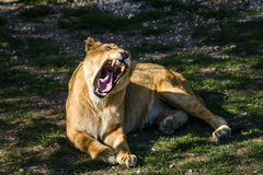 Roaring lioness lying on the grass Royalty Free Stock Photography