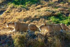 Roaring lionesses Stock Images