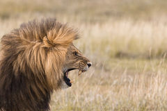 Roaring male lion. Portrait of a roaring male lion Stock Image