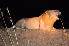 Roaring male lion during night safari-Zambia. Roaring lying male lion with open mouth during a night evening safari-South Luangwa National Park-East Zambia Royalty Free Stock Photo