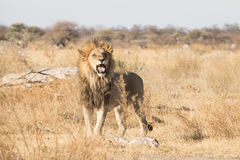 Roaring male lion. With open muzzle showing his fang, Kalahari desert, Botswana, Africa Stock Images