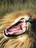 Roaring Male Lion, portrait. In the sun in Africa Stock Image