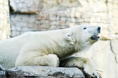 Roaring Polar Bear Royalty Free Stock Photography