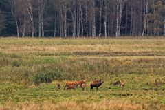 Roaring red deer with does at clearing in the forest in Eastern Germany Royalty Free Stock Photo