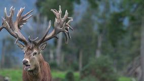 Roaring red deer stag stock video