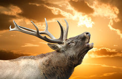 Roaring red deer in a time of estrus Stock Images