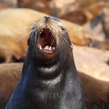 Roaring sea Lion Stock Photo