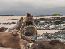 Roaring Sea Lion. Group of beached sea lions amongst black lava rock and against a cloudy dark sky. One lion has its mouth wide open in a roar Stock Photography