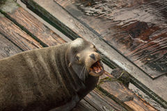 Roaring sea lion. A sea lion laying on a pier in Newport, Oregon, lets out a roar Stock Images