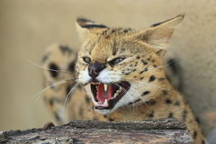 Roaring serval stock photography