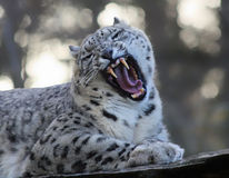 Roaring Snow leopard Royalty Free Stock Photos
