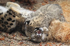 Roaring snow leopard Royalty Free Stock Photos