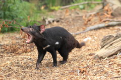 Roaring tasmanian devil Stock Photography