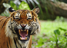 Roaring tiger. Close up of a tiger's face with bare teeth of Bengal Tiger stock image