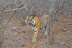 Roaring tiger. Roaring Royal Bengal Tiger at Ranthambhore National Park, India Royalty Free Stock Photography