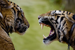 Roaring tiger royalty free stock photos