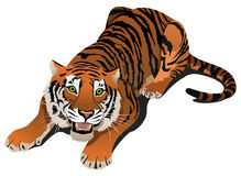 Roaring tiger Royalty Free Stock Photography