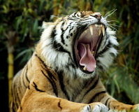 Roaring tiger. Amazing shot of tiger, roaring. Very wide mouth, mid-roar royalty free stock photo