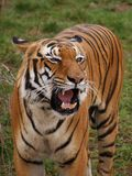 Roaring tiger. Angry tiger, looks scary when roaring, but he is so beatiful animal Royalty Free Stock Image