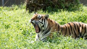 Roaring tiger lying on the grass Royalty Free Stock Photos