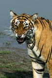 Roaring Tiger Stock Photography