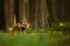 Roaring tiger in summer forest. Lying tiger showing his teeth. Dangerous anmial from closup view. royalty free stock photography