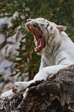 Roaring white tiger Stock Photo