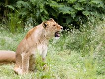 Roaring young African lioness stock images