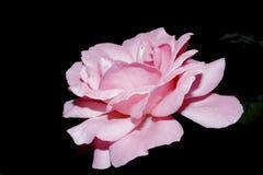Roas rosado Fotografía de archivo libre de regalías
