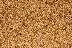 Roasted barley background Stock Photography