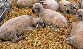 Sheep. Herd of the sheep in shed royalty free stock image
