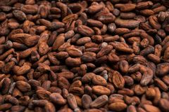 Roasted Cocoa Beans on a Wooden Table stock photography