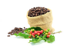 Roasted coffee beans in burlap sack with red and green coffee beans berries. Stock Images