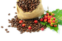 Roasted coffee beans in burlap sack with red and green coffee beans berries. Roasted coffee beans in burlap sack , red and green coffee beans on a branch of Stock Photo