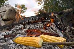 Roasted corn on the cob. By open fire, forest in background Royalty Free Stock Photography