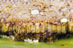Roasted immature beehive on banana leaves Stock Image