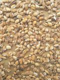 Roasted oat grain background. Close up of roasted oat grain background Stock Images